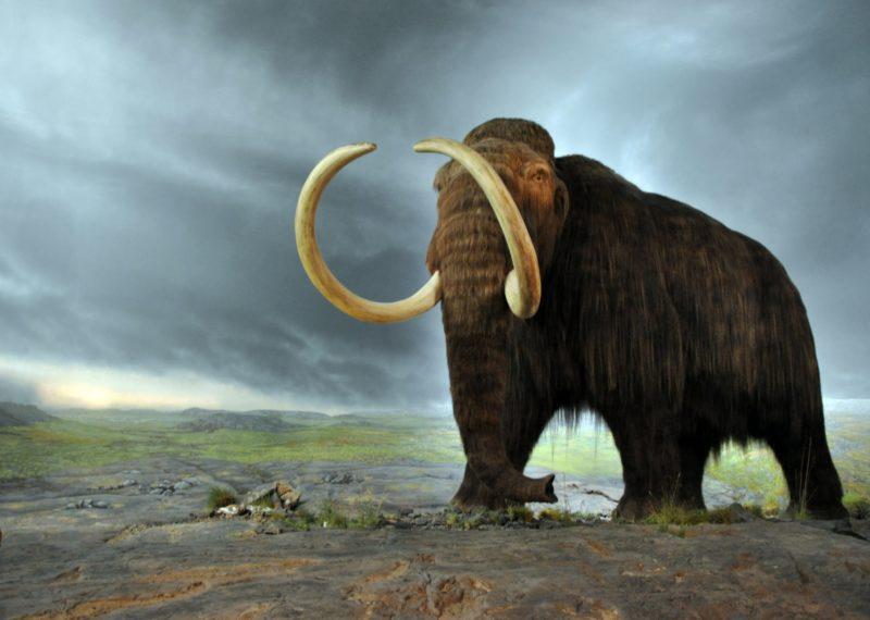 mammoth draw