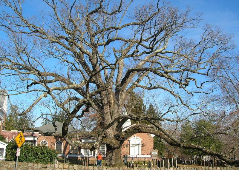 600-year-old white oak dies of heat stress