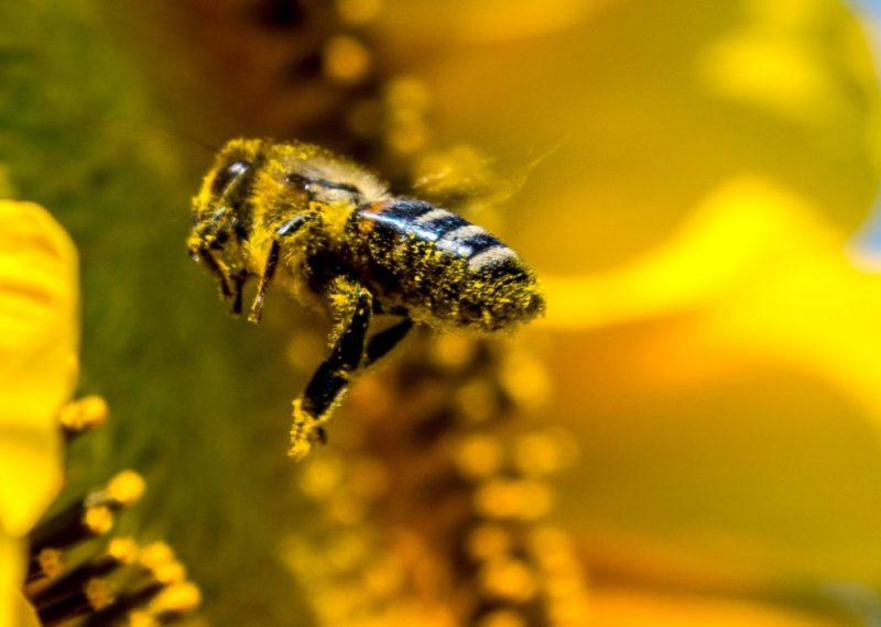bee flying to a sunflower