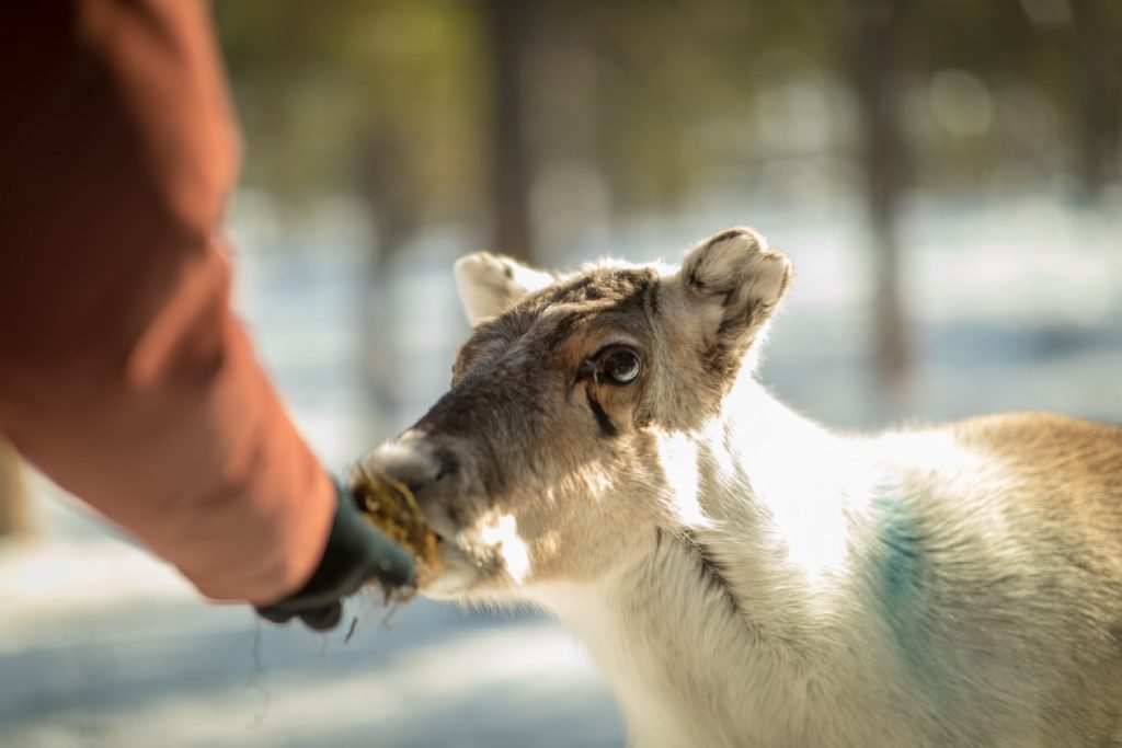 hand feeds young reindeer