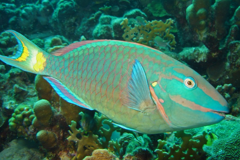 Stoplight parrotfish on coral reef.