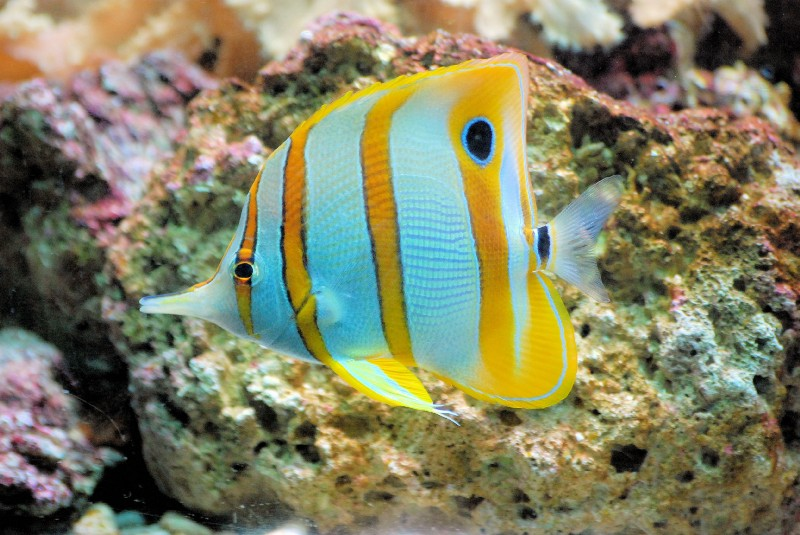 Butterflyfish swimming near coral reef.