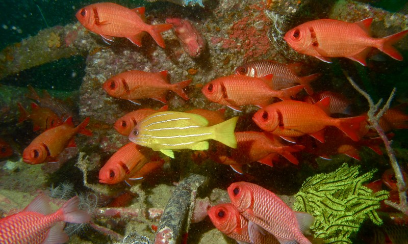 Five-lined snapper near coral reef.