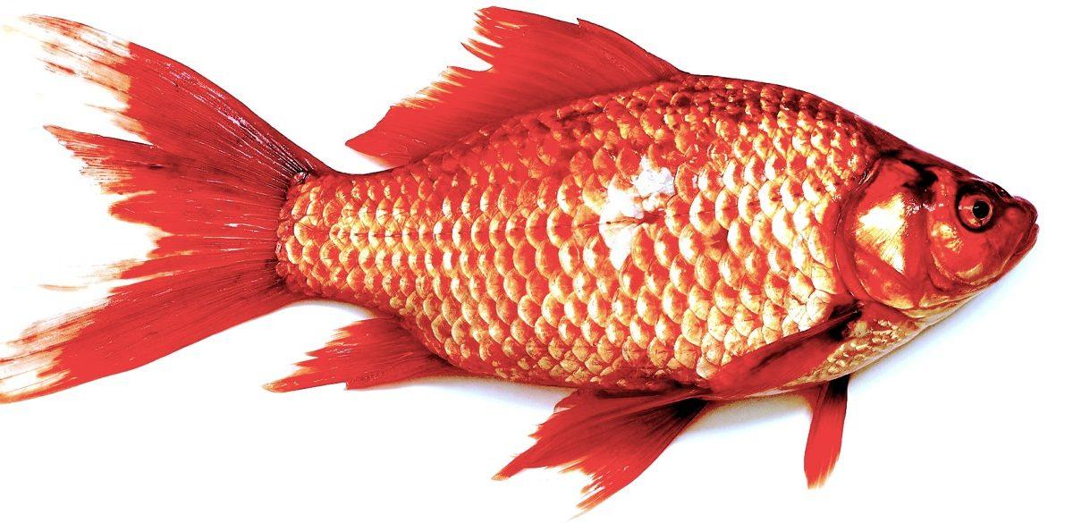 Fish Are Shrinking Nexus Media News