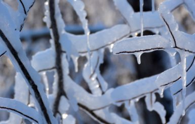 Icicles on branches.