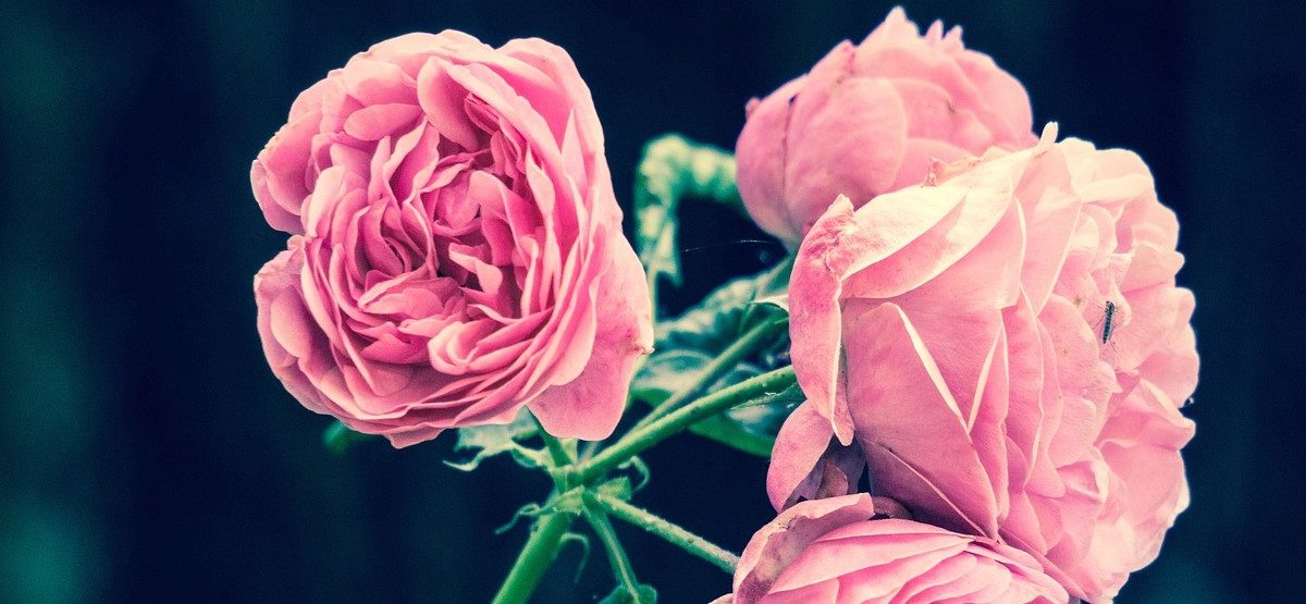 pink roses with black background