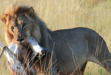 lion with its prey in the mouth