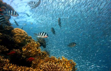 corals with sargo fish