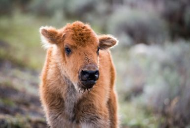 A bisoncalf.