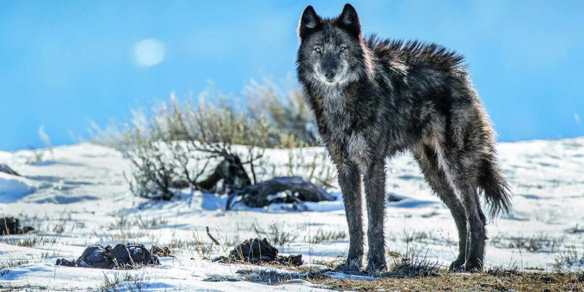 a wolf watching from a distance on a snowy hill