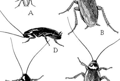 The German roach (A), American cockroach (B), the Australian cockroach (C), wingless female of the Oriental roach (D) and winged male of the Oriental roach (E). Source: United States Department of Agriculture