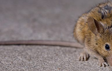 A brown rat in New York City. Source: G. Scott Segler