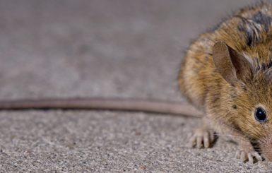 A brown rat in New York City. Source: G. Scott Segler