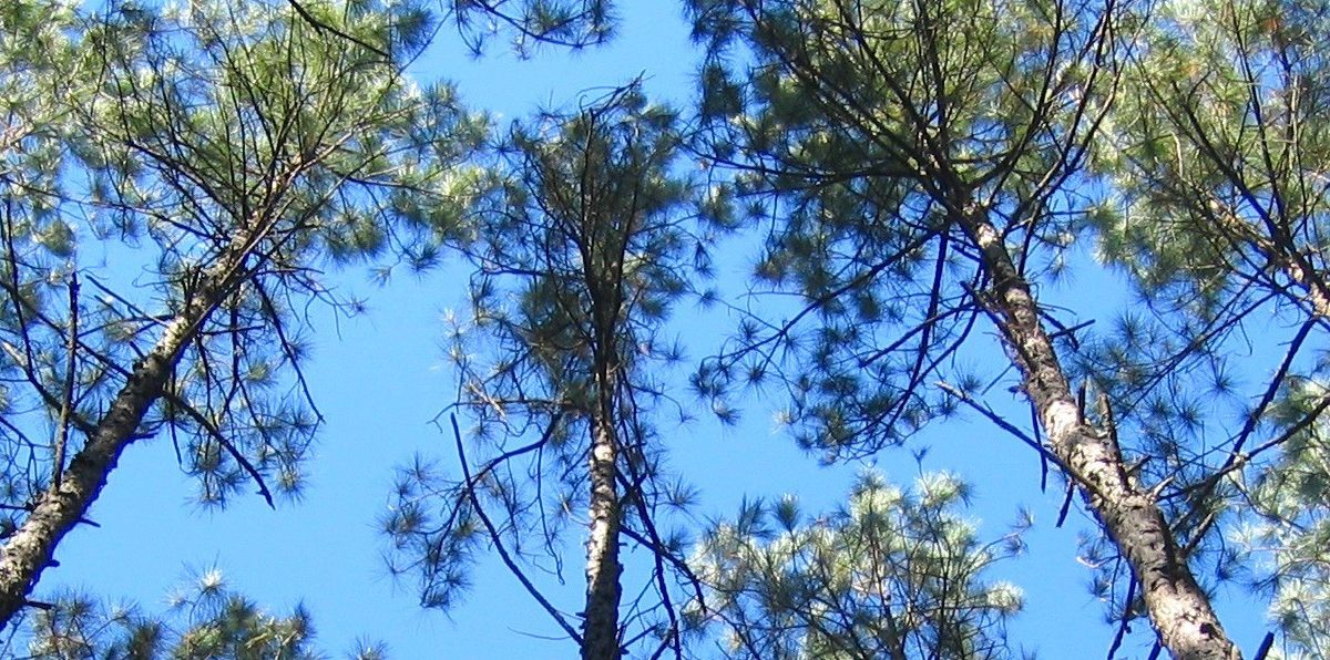 Loblolly pine trees in North Carolina. Source: USDA/Steve McKeand
