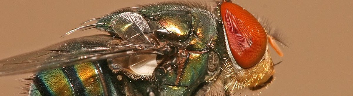 A chrysomya megacephala, commonly known as a blow fly. Source: Muhammad Mahdi Karim