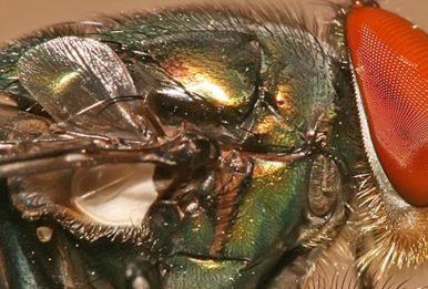 A chrysomya megacephala, commonly known as a blow fly. Source: Muhammad MahdiKarim