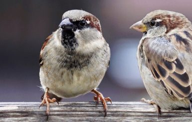 Sparrows. Source: Pixabay