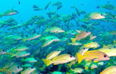 A school of bluestripe snappers. Source: Tchami