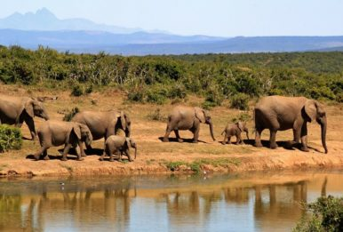 A herd of elephants. Source: Pixabay
