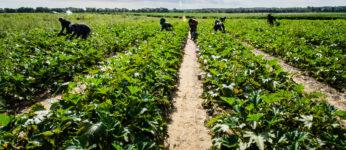 Migrant farm workers in field