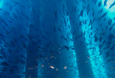 Sealife beneath the Eureka oil rig off the coast of Long Beach, California. | Source: Steve Sennikoff